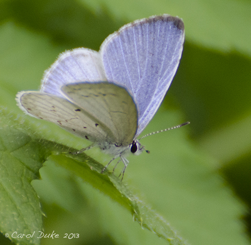 Flower Hill Farm Spring Butterflies ~ Part Two