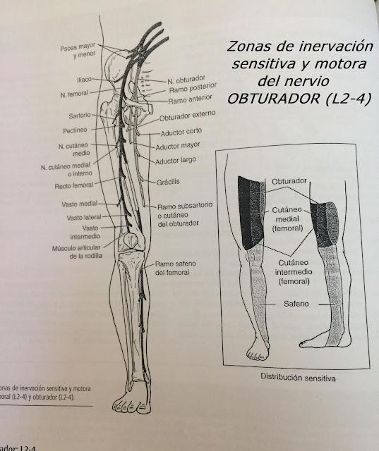 Nervio Obturador: L2-4
