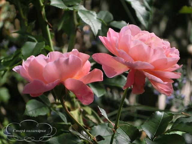 роза мари кюри, планы розариев, розы планы, розарии, сад и розы