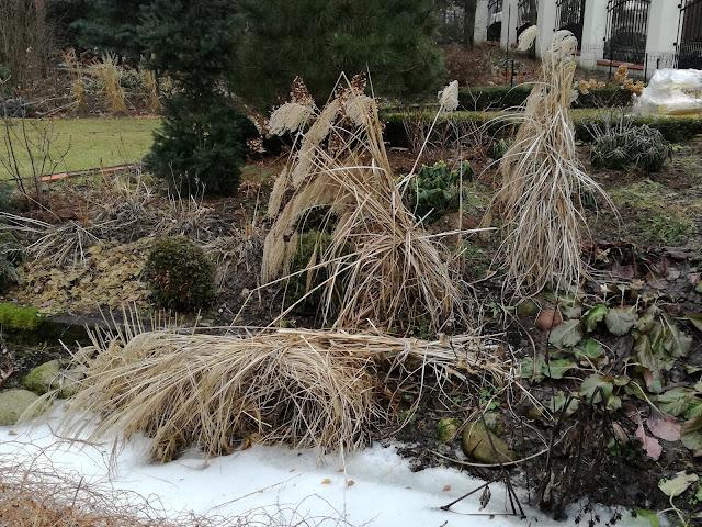 kępy miskantów po zimie