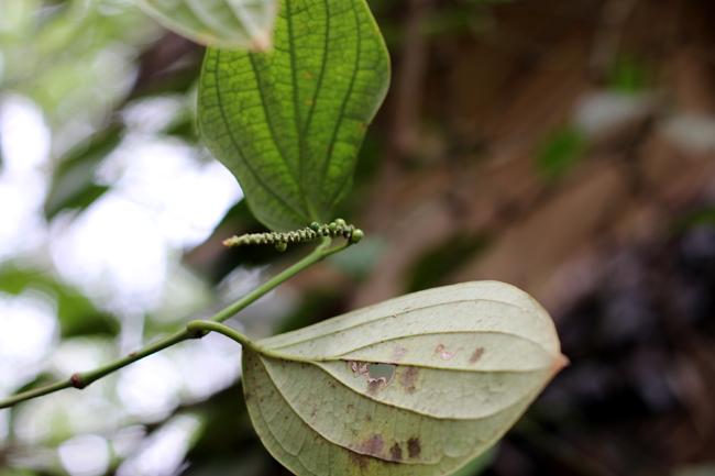pieprz - ogrody przypraw na Sri Lance