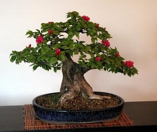 producir bonsai
