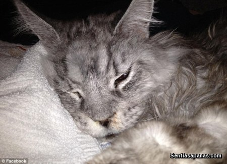 Maine Coon - Stewie Cancer