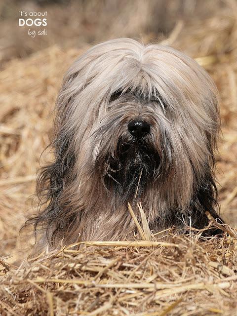Tibet Terrier Chiru sitzt bis zum Hals im Stroh