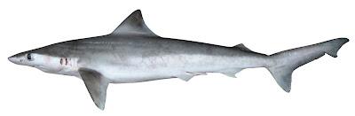 tiburon de borneo Carcharhinus borneensis