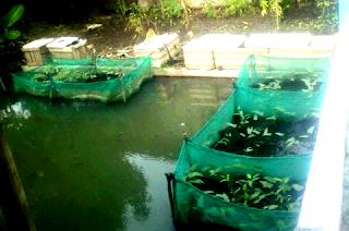 Cara budidaya ikan platy lengkap untuk para pemula