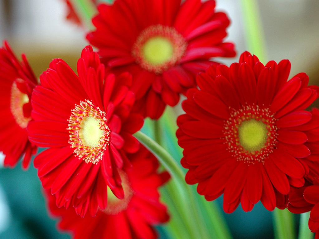 Red Flowers ~ Flowers Wallpapers