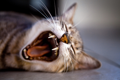 tabby cat yawning and showing teeth