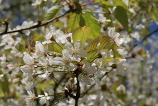 Unzählig, weiße Blüten hängen am Baum