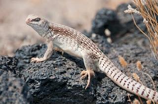 Jenis Iguana dipsosaurus gurun