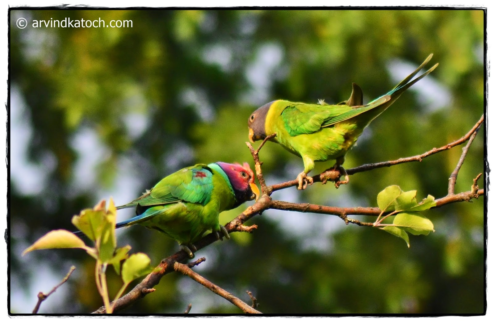 Plum-headed Parakeet, Parrot,