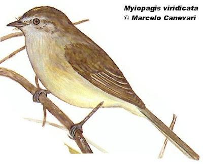 fiofio corona dorda Myiopagis viridicata