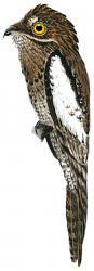 Nyctibius leucopterus