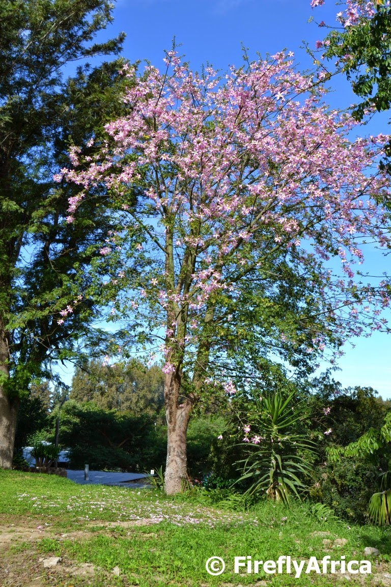 Firefly The Travel Guy: A flowering Kapok Tree, also known ...