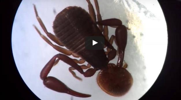 Ψευδοσκορπιοί σε μελισσοκομείο στην Ελλάδα VIDEO