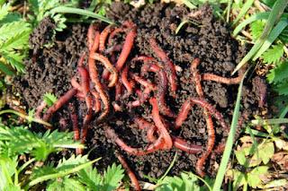 16 Fakta dan Informasi Menarik Tentang Cacing Tanah