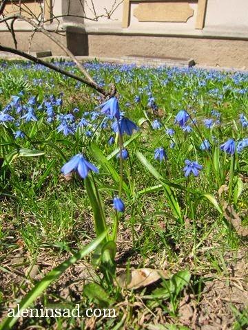 Scilla siberica, сцилла, пролеска, сибирская, цветы пролески, синие цветы, синий цвет у цветов, эфемероиды, луковичные, первые цветы, подснежники