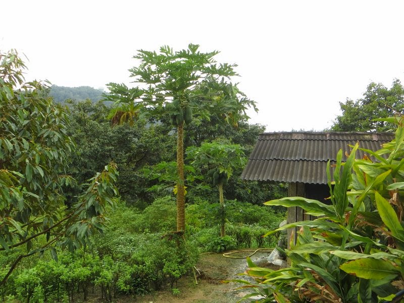 Дерево Папайи Саму, Таиланд