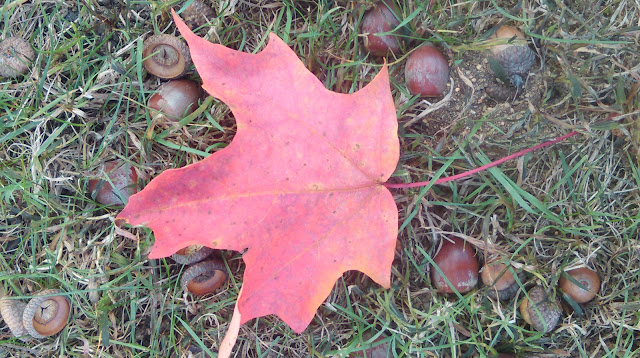 maple leaf and acorns