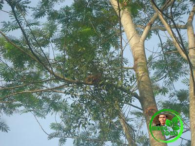 Sarang burung pipit dipohon sengon.
