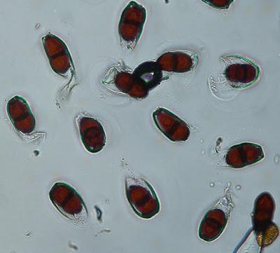 teliospores of puccinia