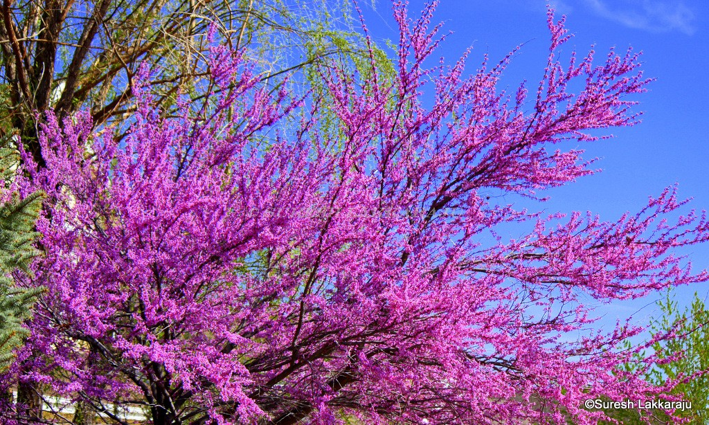 Purple colored trees garden inspiration tree with bright pink flowers image collections flower decoration mightylinksfo