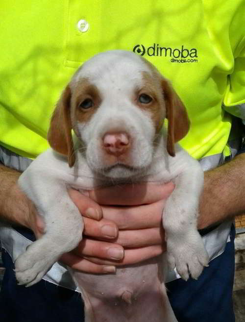 cachorro cruce pointer