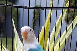 Bisikan harga lovebird biola opaline blue ini bikin ngiler