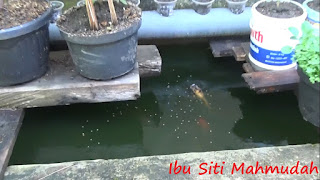 Pemanfaatan Air Kolam Sebagai Pupuk Organik Cair Budidaya Sayuran dalam Pot