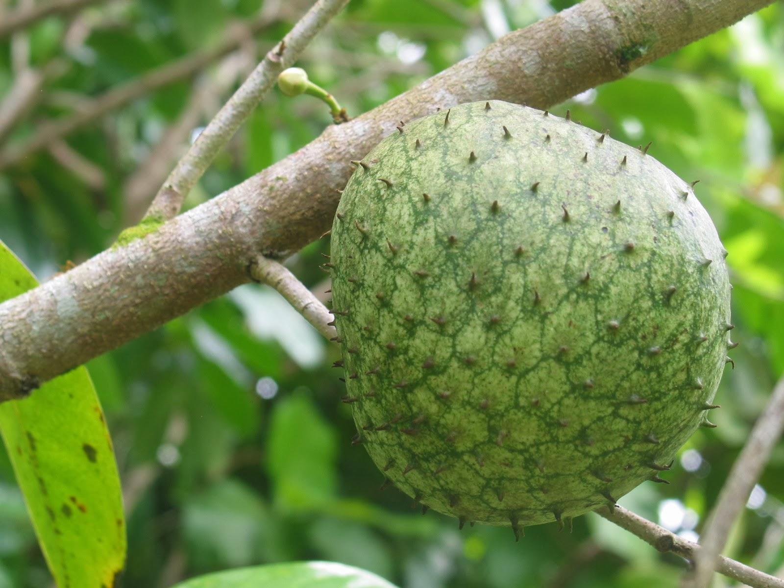 Layman Blog on Health  |Guyabano Tree