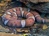 What to do if bitten by a snake - Copperhead