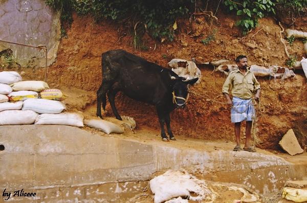 vaci-Sudul-Indiei