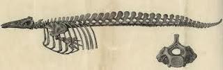 Esqueleto de beluga