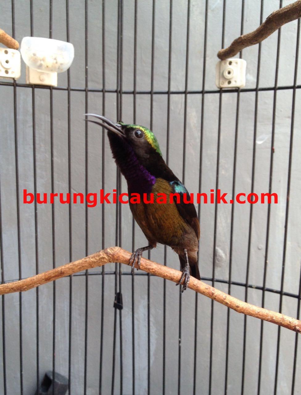 Download Video Kolibri Ninja : download, video, kolibri, ninja, Download, Suara, Burung, Kolibri, Ninja, Omkicau, Potentbydesign