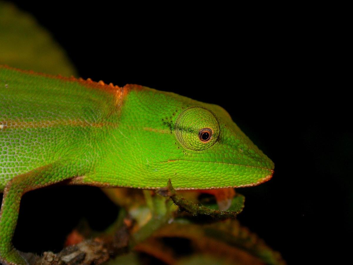 Calumna gastrotaenia, ou caméléon de Périnet, une autre couleur pour ce splendide caméléon nocturne
