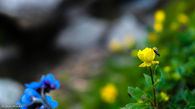 Flowers at Rupin Pass