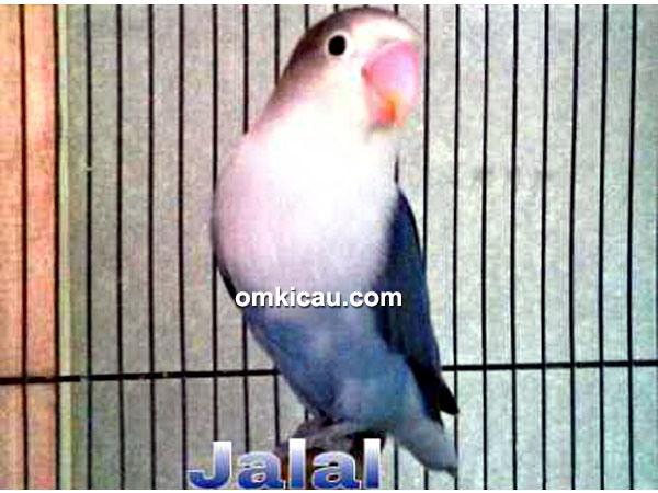 lovebird jalal   hobi burung berkicau
