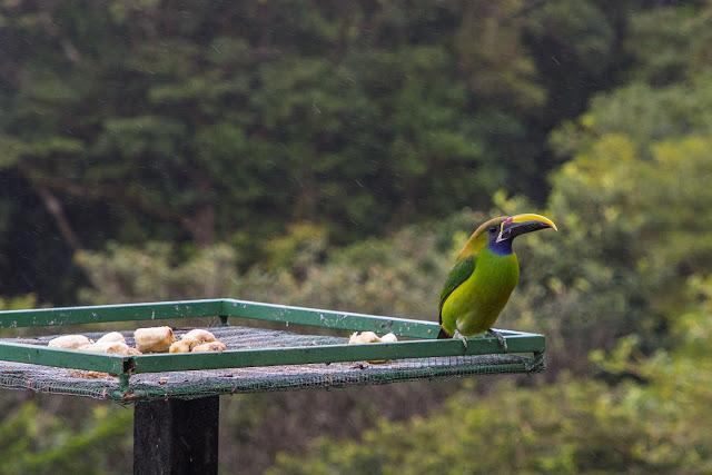 Tucán esmeralda en los comederos del Cloud Forest Lodge