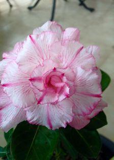Gambar Bunga Adenium yang Unik dan Cantik 19