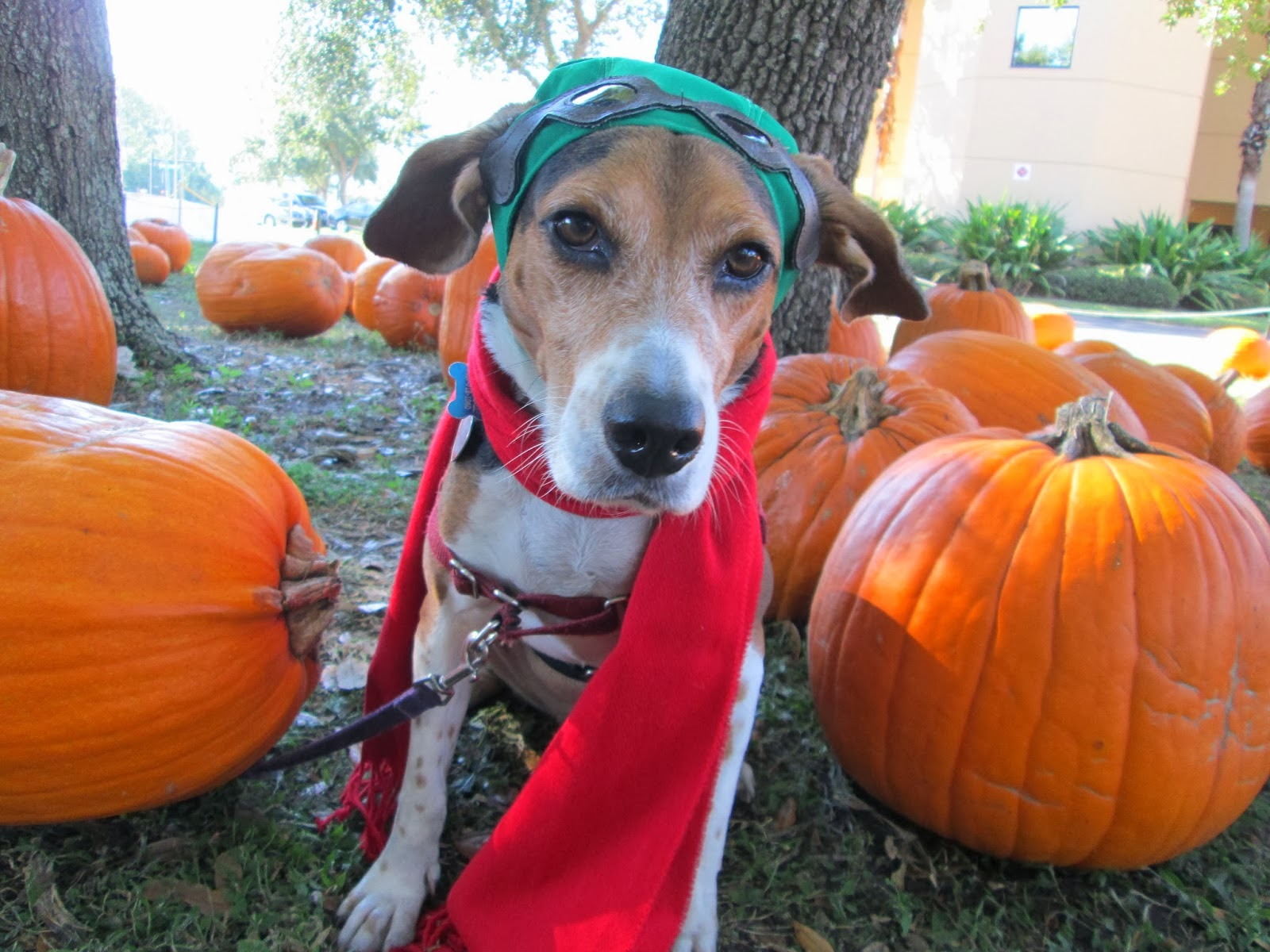 Happy Halloween! Giveaway winners and safety tips & Life With Beagle: Happy Halloween! Giveaway winners and safety tips