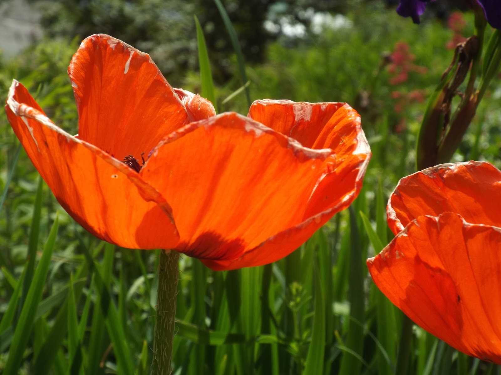 Caterpillar poetry poppies in july sylvia plaths poem poppies in july written in july 1962 and published posthumously in her famous 1965 collection ariel i have been thinking of the poem mightylinksfo