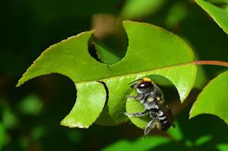 Leaf-cutter-bee_-Photo-theangryblender.j