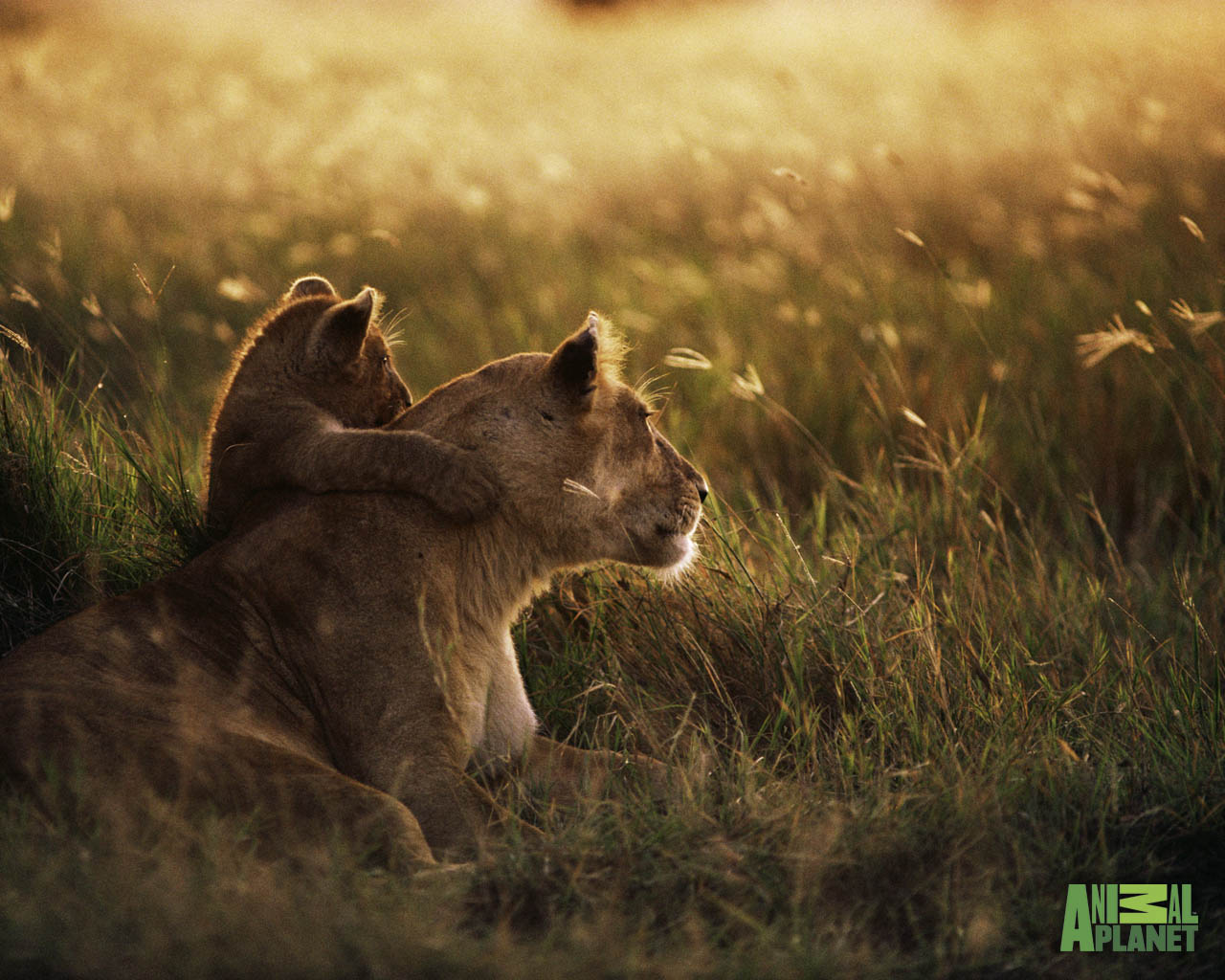 lioness and cub wallpapers « Nat Geo Adventure