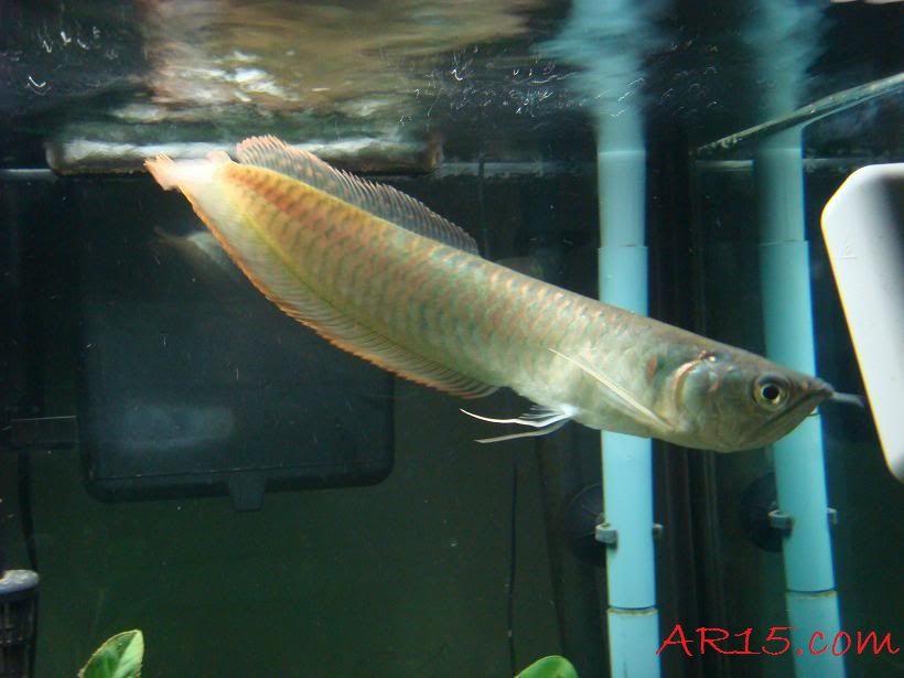Gambar Dan Juga Foto Ikan Arwana Silver, Kisaran Harga Dan Cara Merawatnya