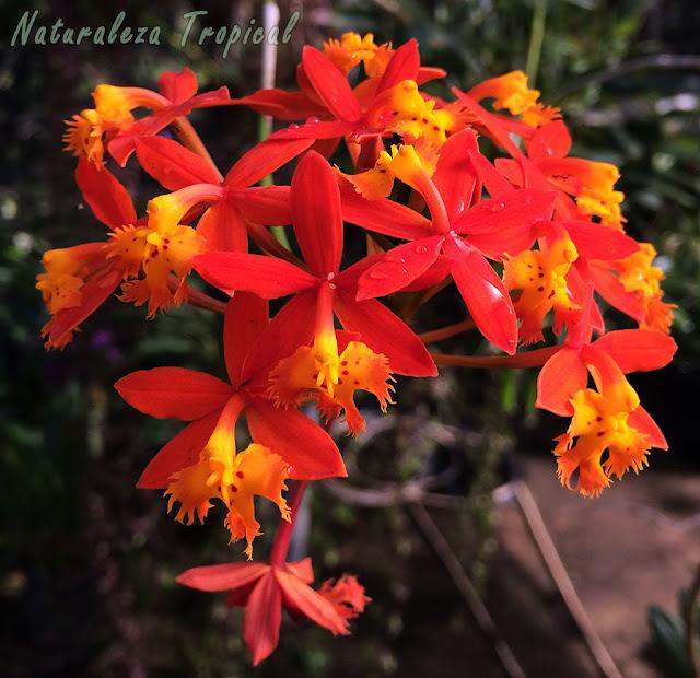 Floración espectacular de la especie Epidendrum radicans