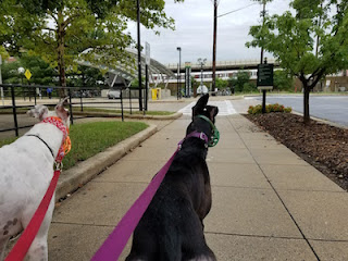 White and black dogs, on leash, facing toward metro station