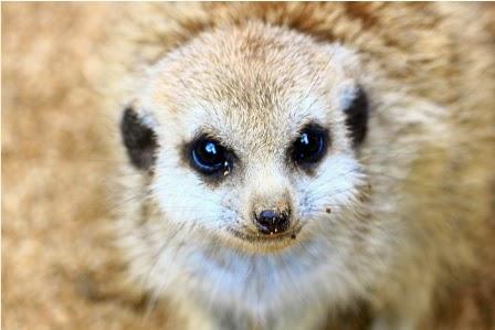 Si Imut Meerkat
