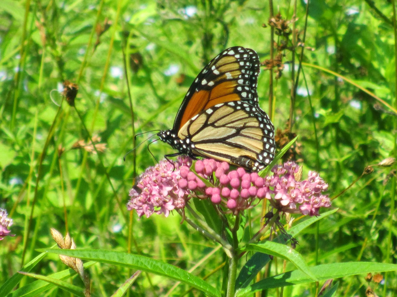 Monarch visiting swamp milkweed plant