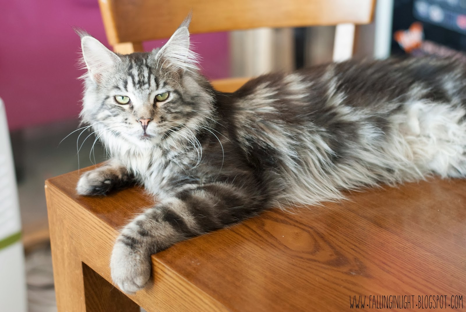 Falling In Light: Lily Cat - Cat Cafe