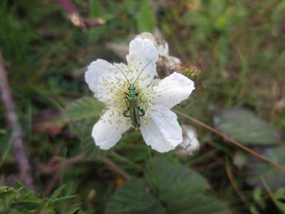 thick-legged-flower-beetle-oedemera-nobilis
